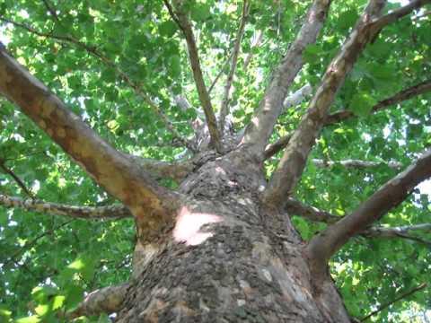 sycamore tree.jpg