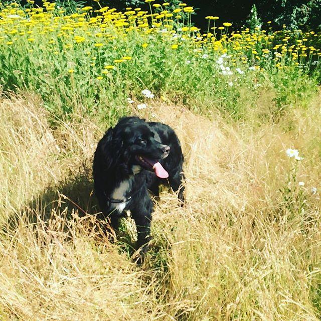 It's definitely summer! 🌼 #laberneseofinstagram #bernesemountaindogsofinstagram #traildog #labernese #dog