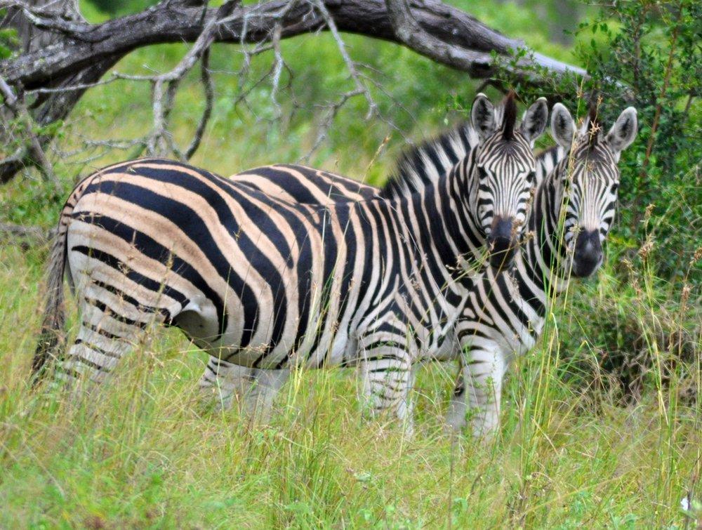 3. Zebra Pair._0195[61507].jpg
