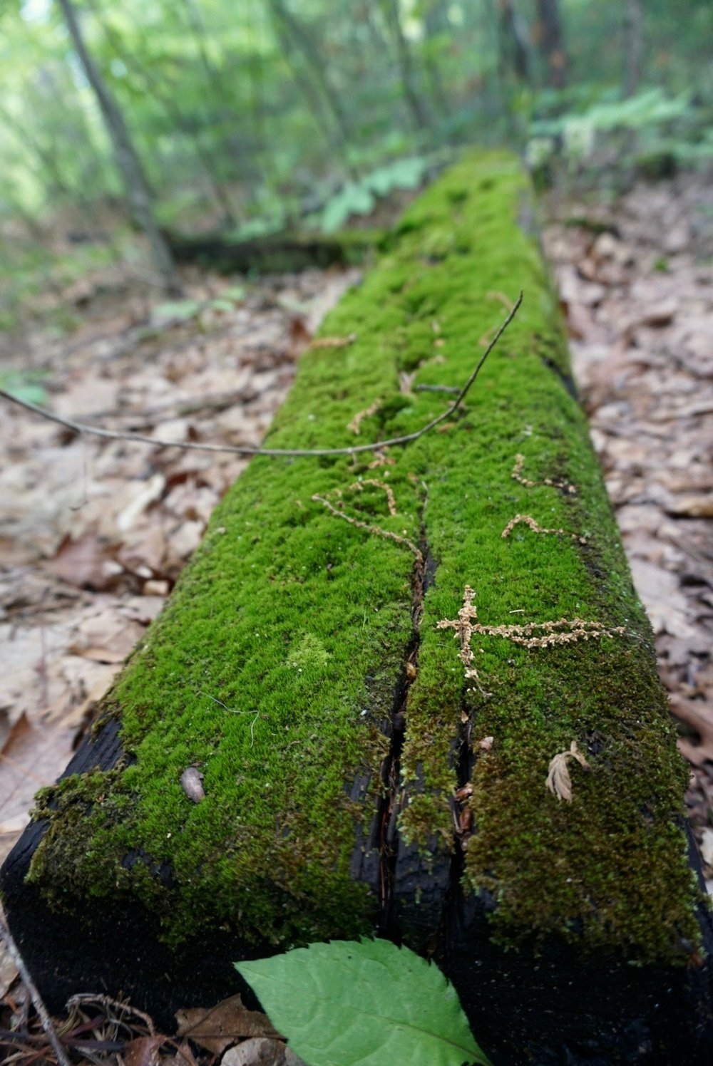 Just some woodland magic. Bren said these looked like pieces of a railroad track, possibly?