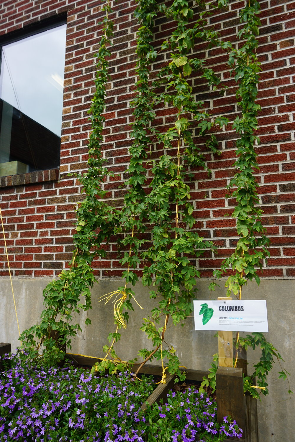 Best kind of flowers and plants for a brewery? Hops, of course!
