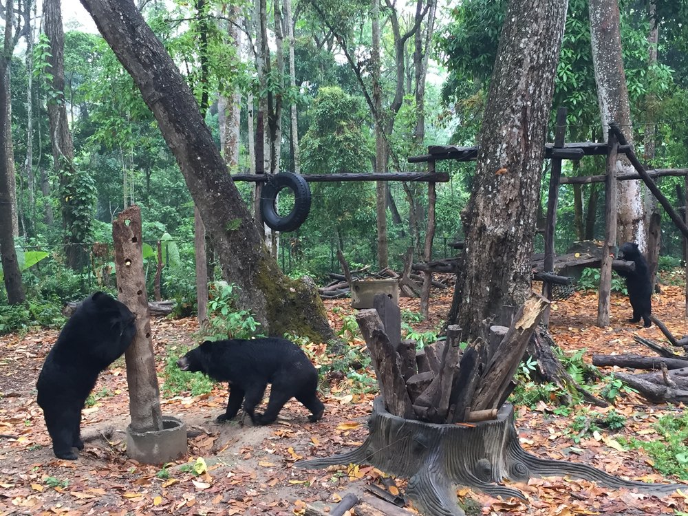 Bears at the bear sanctuary in Luang Prabang, Laos.