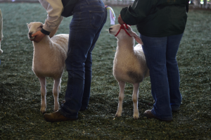 Fine and Feathered Sheep Festival