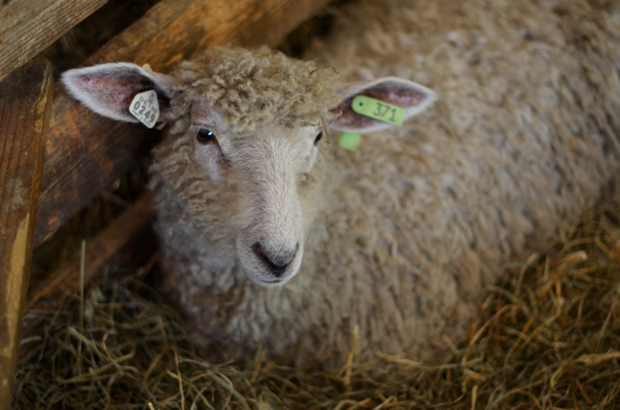 Fine and Feathered Maryland Sheep and Wool