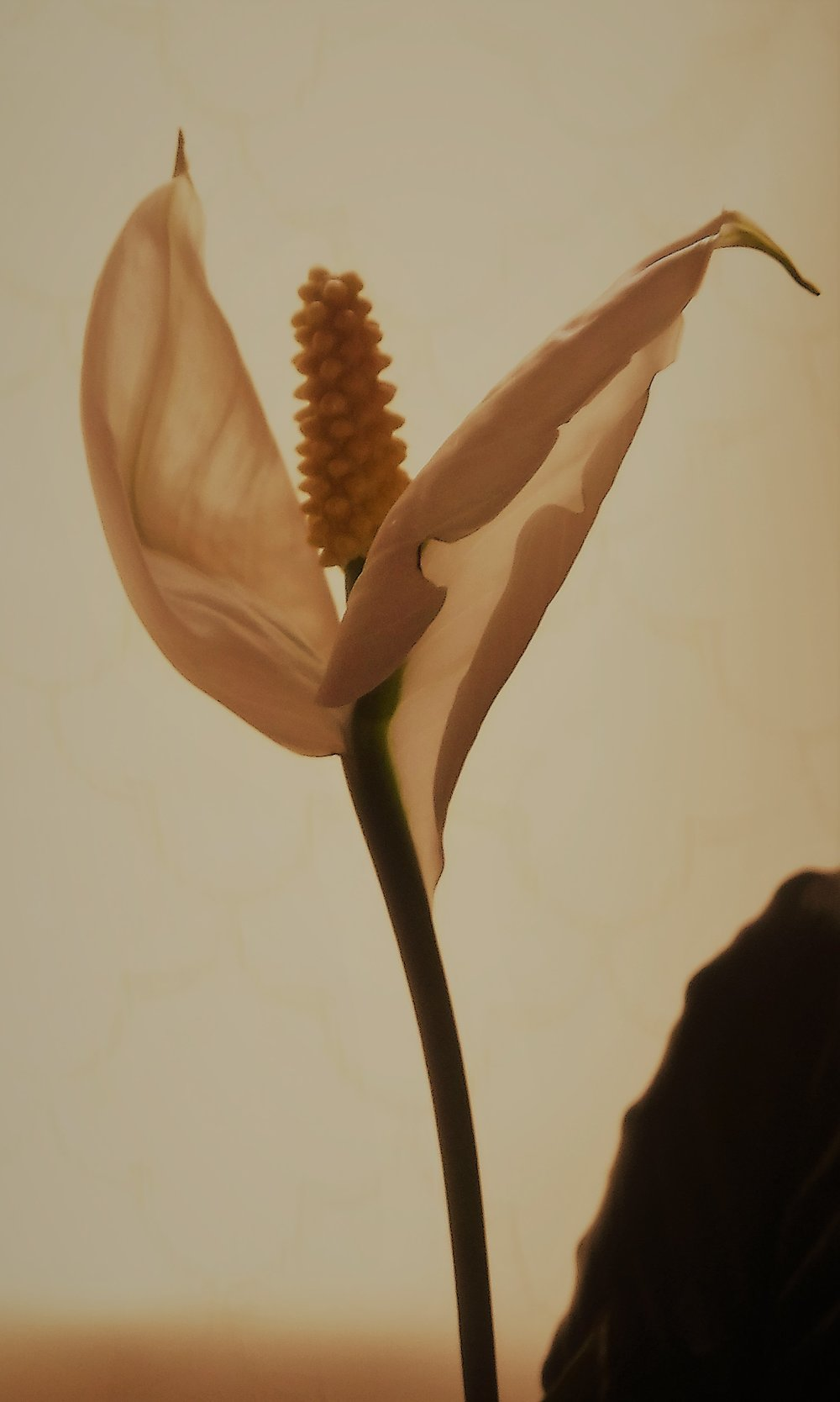 Lily sepia altered.jpg