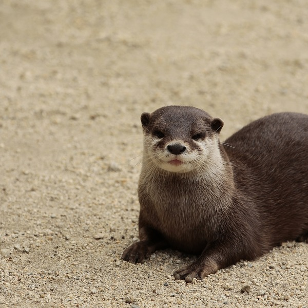 Otter Poses with a Bit of a Smile