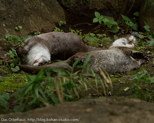Otter Happily Roll in the Dirt
