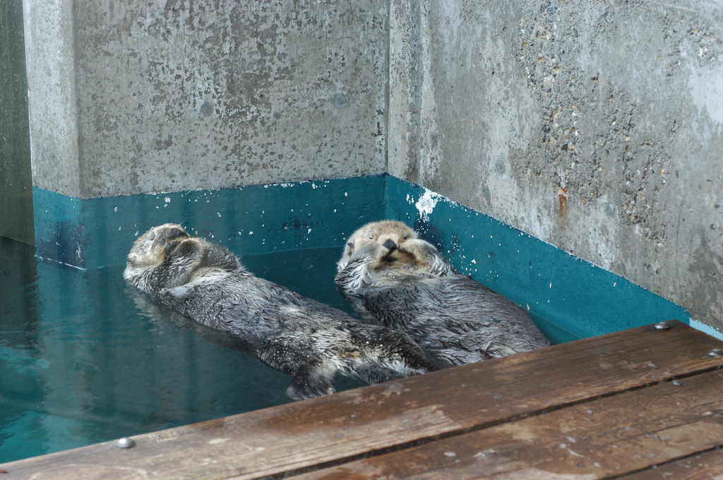 Sleepy Sea Otters Nap in a Quiet Corner