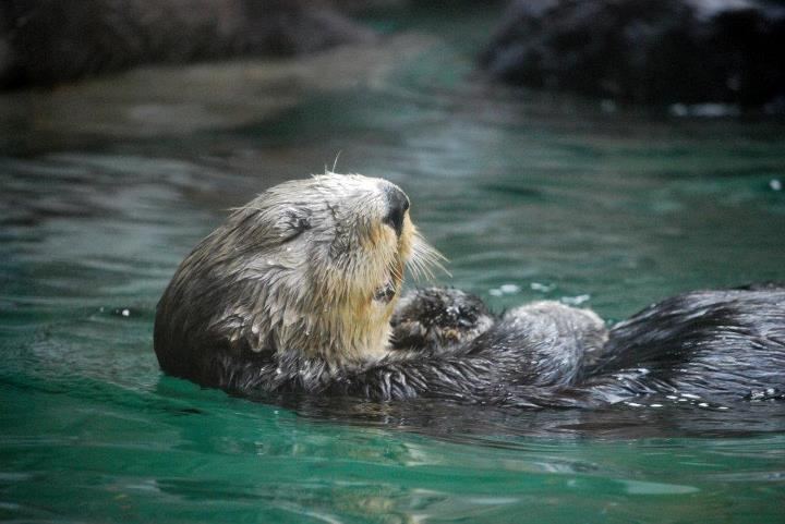 Sea Otter Looks Very Relaxed