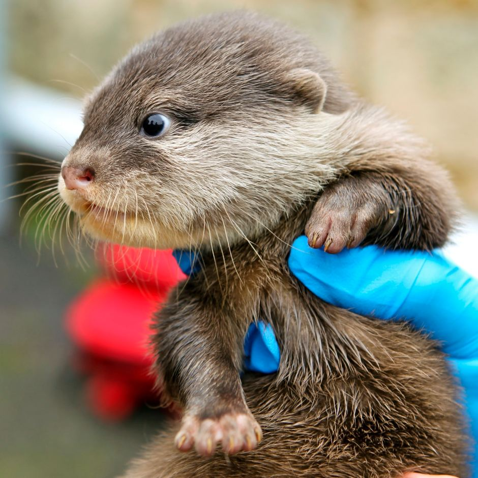 Another of Perth's Otter Pups at Their First Vet Check