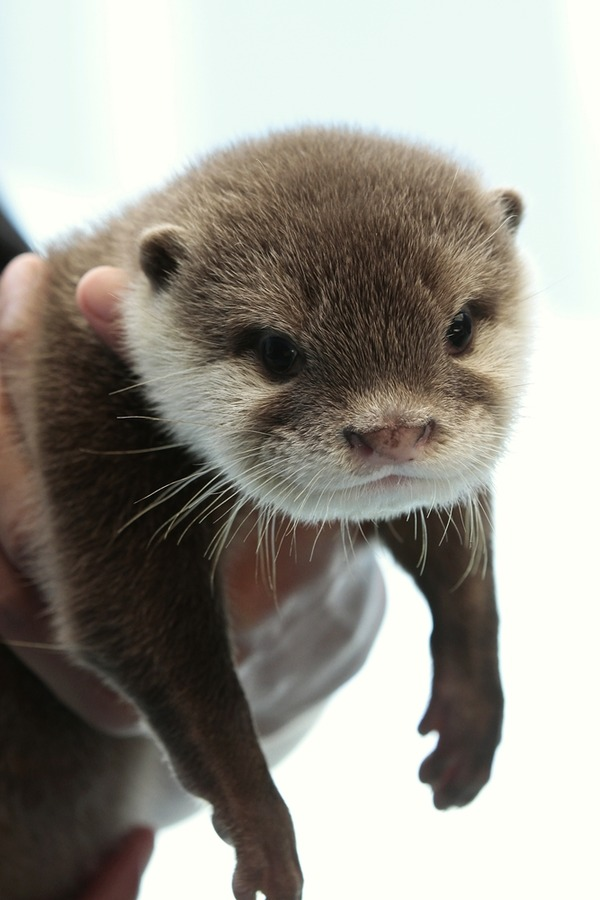 Otter Pup Hangs Out In Hoomins Hands The Daily Otter