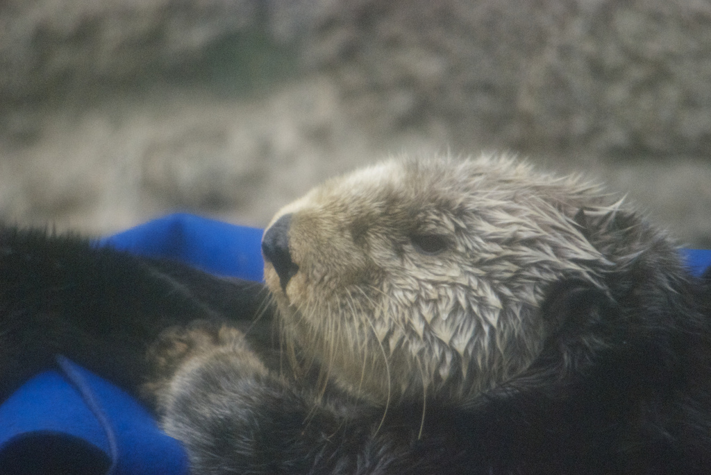 Cuddly Sea Otter at Monterey Bay Aquarium