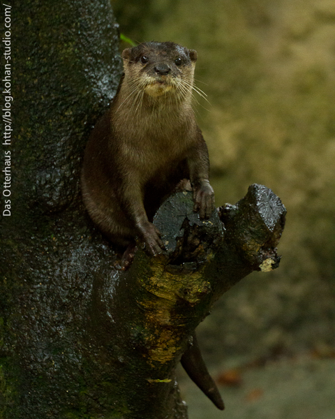 Otter Has Found a Perch in a Tree