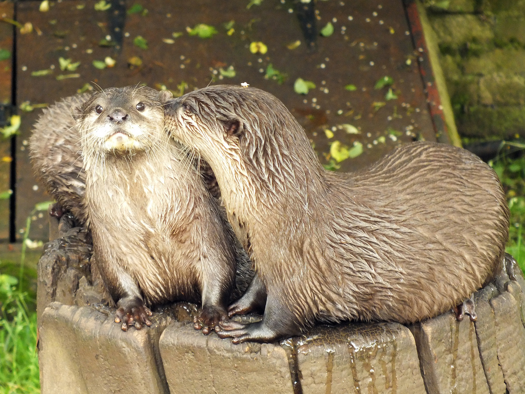 Otter Is Surprised to Get a Kiss