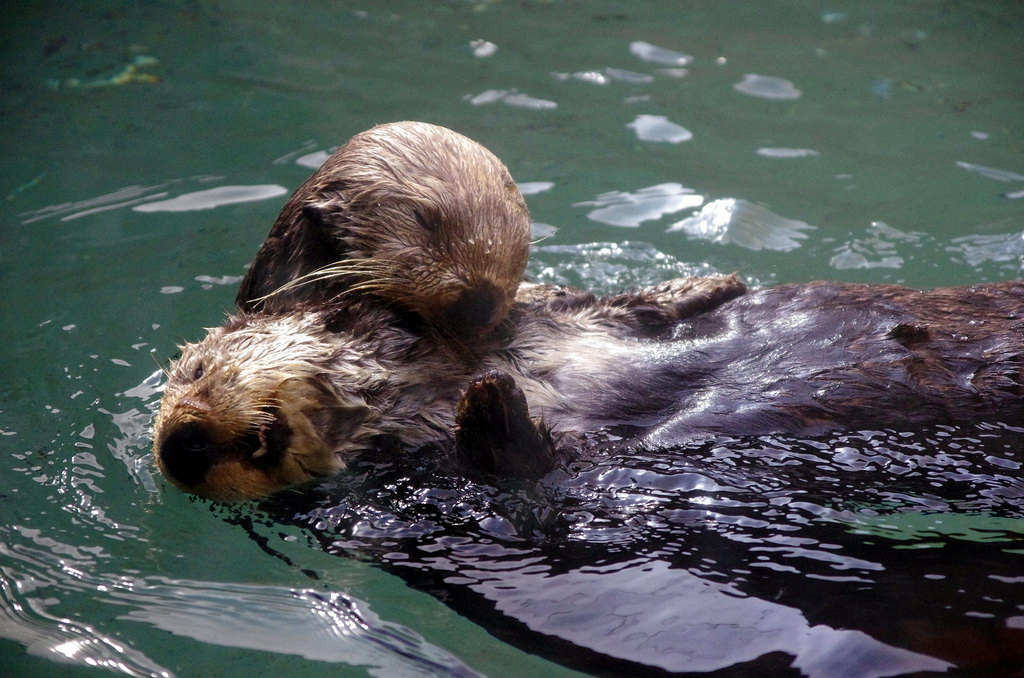 Sea Otters Cross Paths and Have a Little Cuddle While They're at It