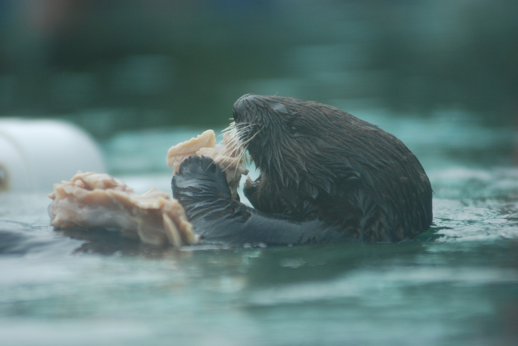 Otter Has a Pile of Seafood to Nom