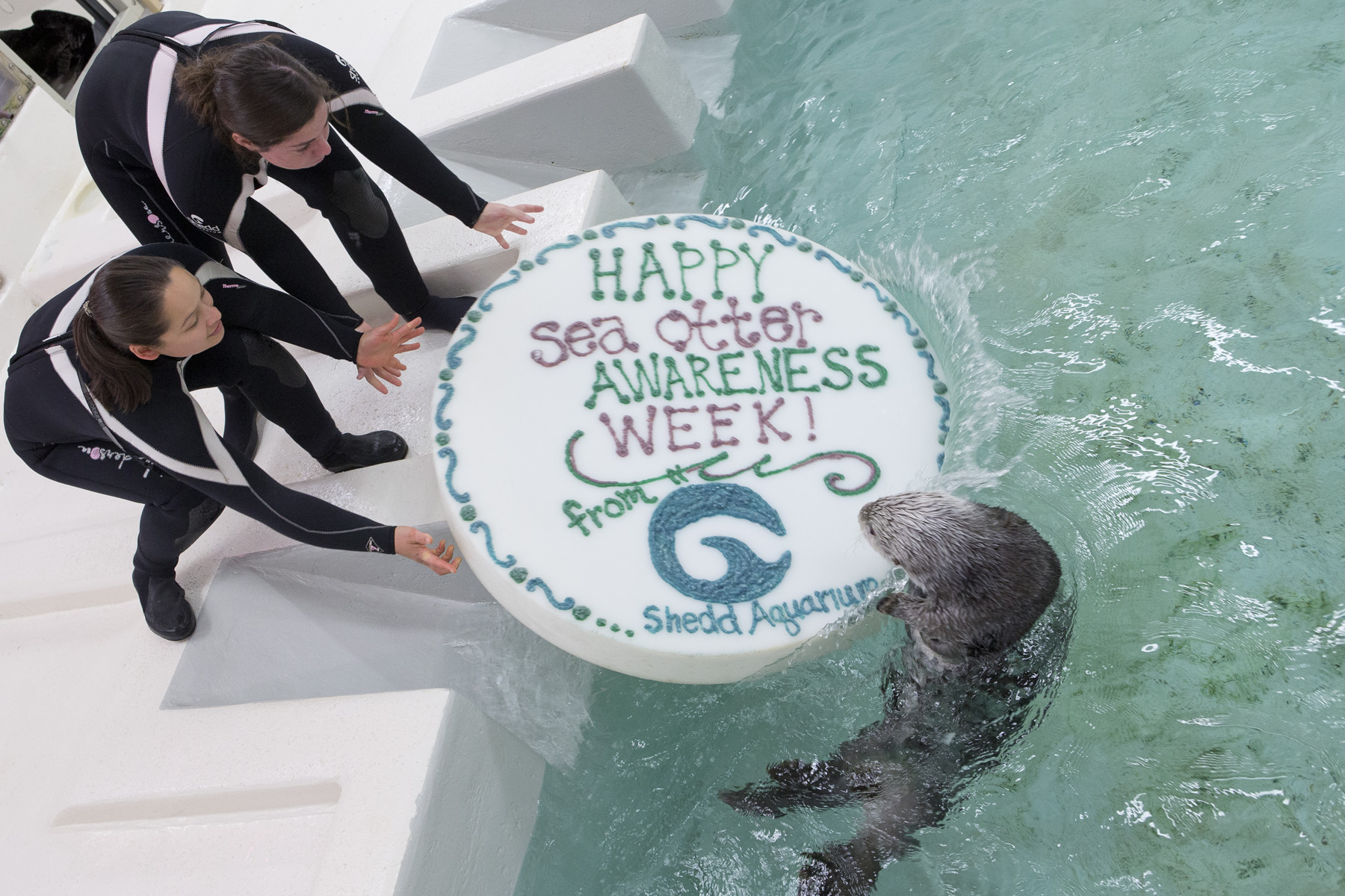 Otters Celebrate Sea Otter Awareness Week with Fishy Cakes! - 1