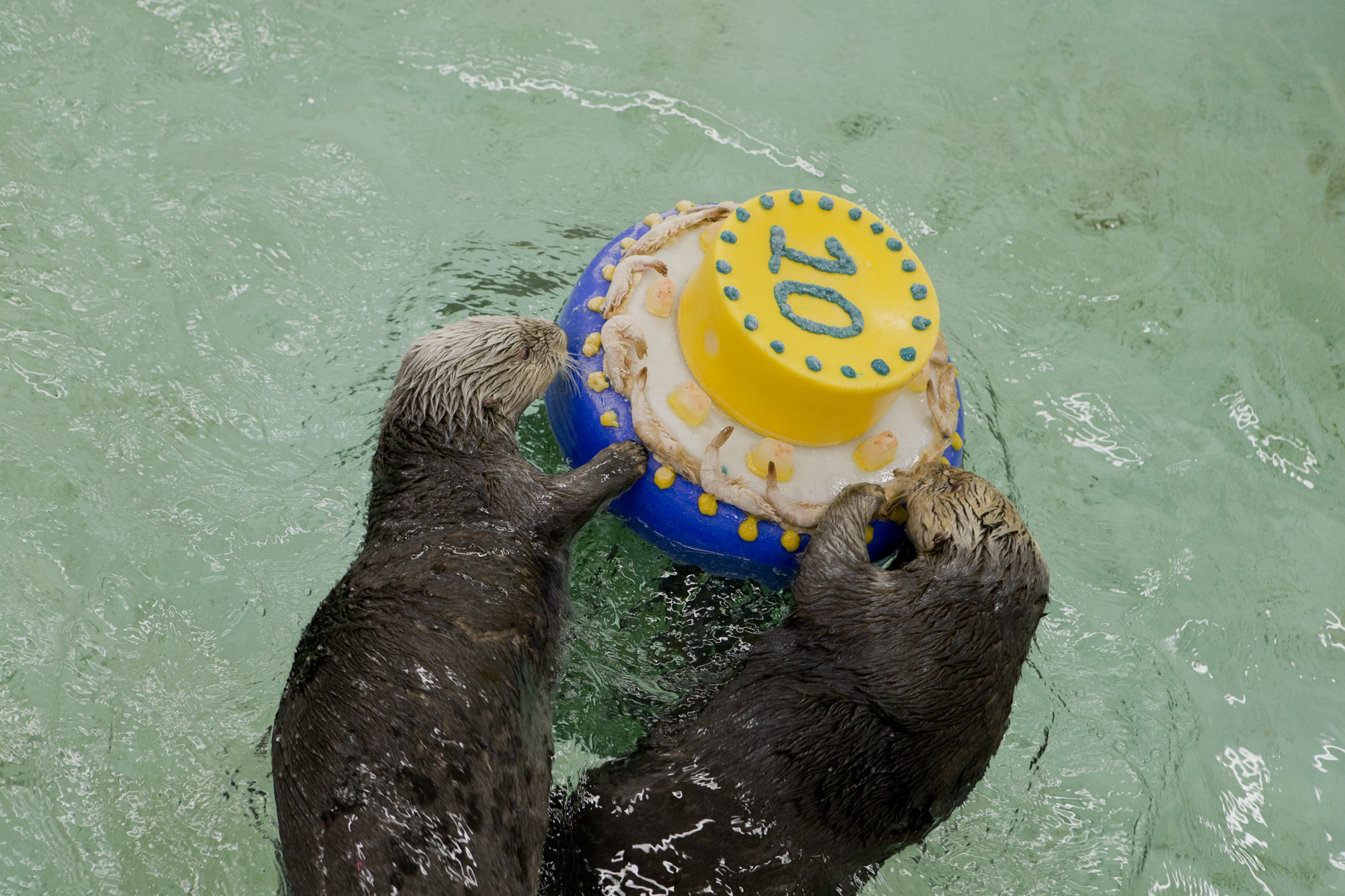 Otters Celebrate Sea Otter Awareness Week with Fishy Cakes! - 2