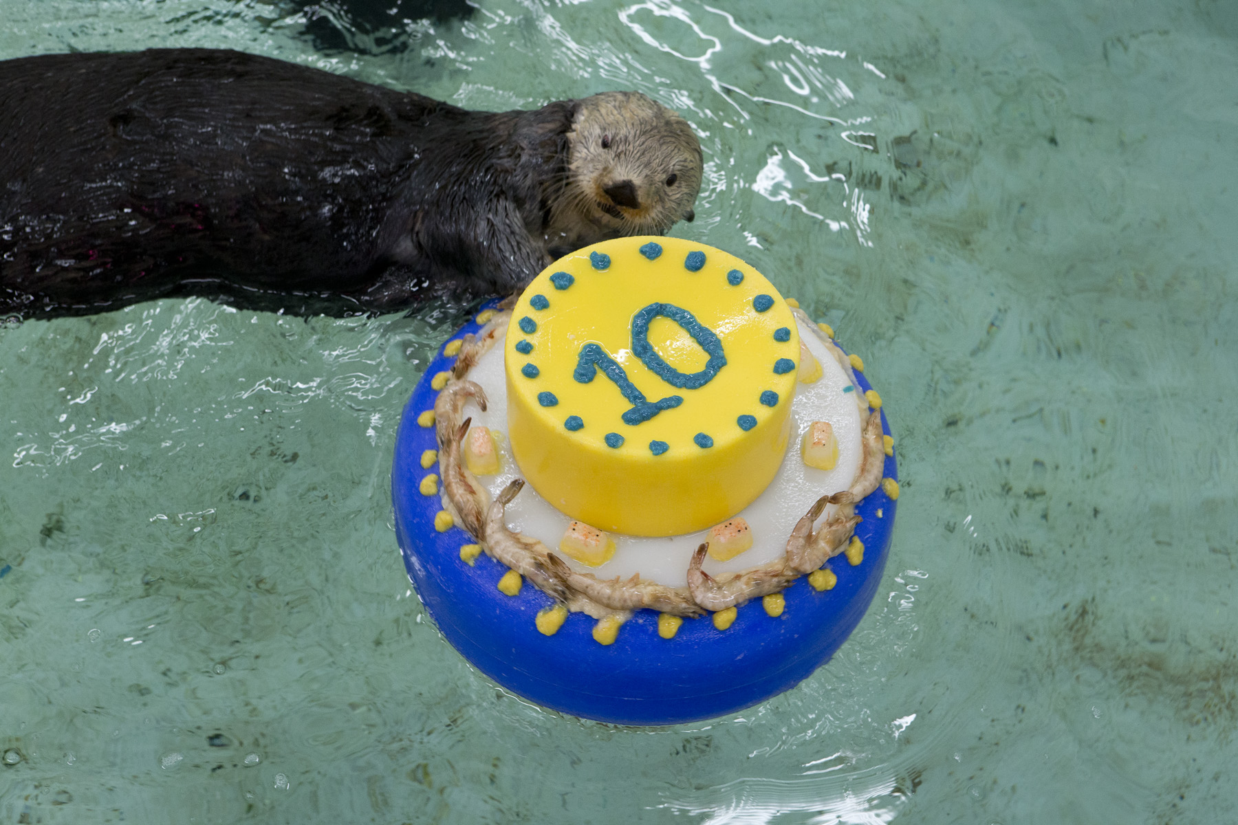Otters Celebrate Sea Otter Awareness Week with Fishy Cakes! - 3