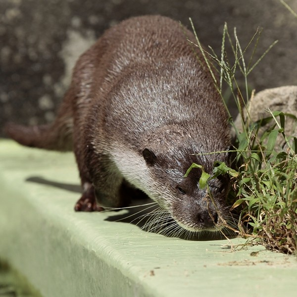 Otter Stops to Smell the ....Weeds