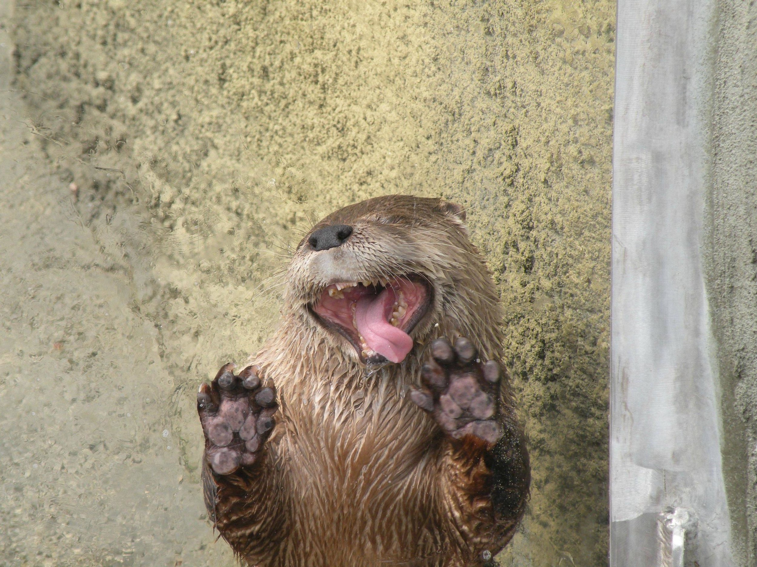 Otter Makes Goofy Faces through the Glass