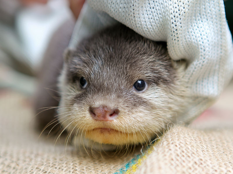 One of Perth's New Otter Pups Is Wrapped Up and Cozy