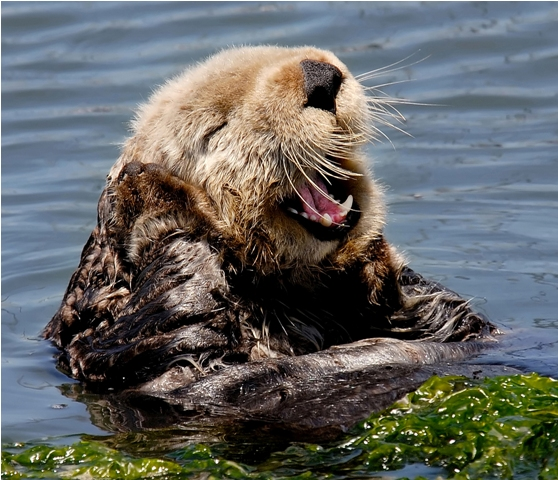 Sea Otter Belts Out a Tune