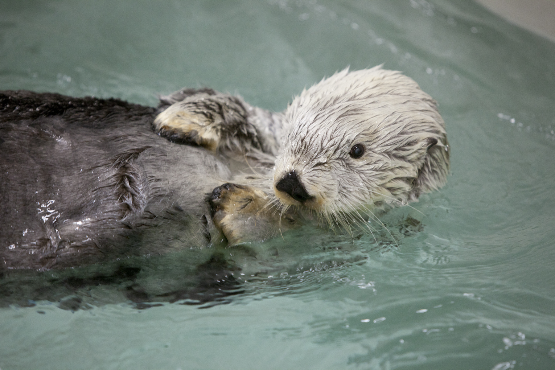 Kenai, One of the Last Otter Survivors of the Exxon Valdez Spill, Has Died