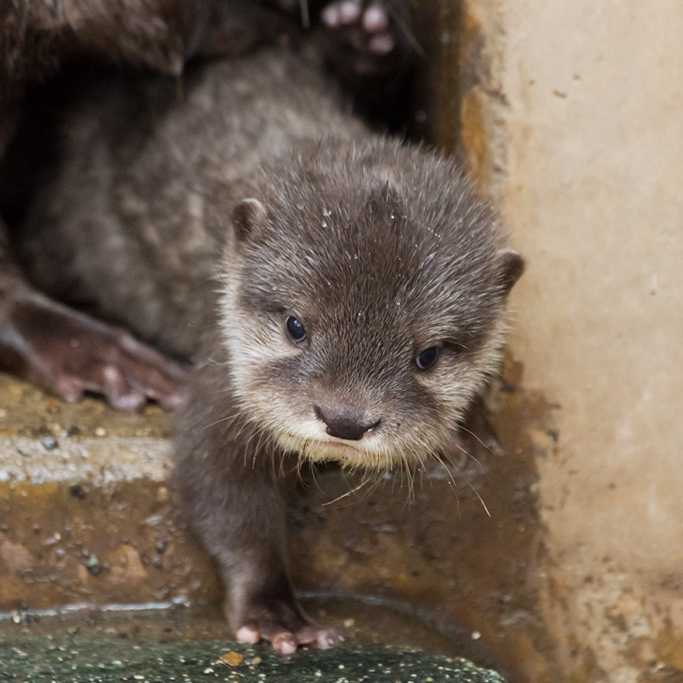 Otter Pup Comes Out of His Hidey-Hole