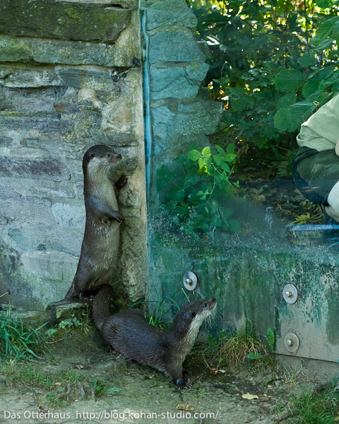 Otters Keep a Close Eye on their Keeper 1