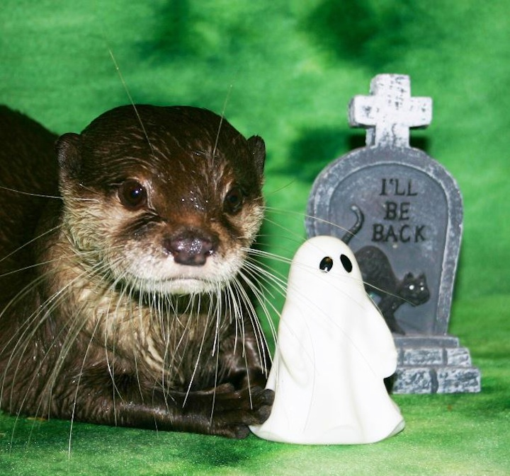 Otters at Newport Aquarium Get Lots of Halloween Toys 1