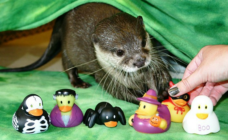 Otters at Newport Aquarium Get Lots of Halloween Toys 3