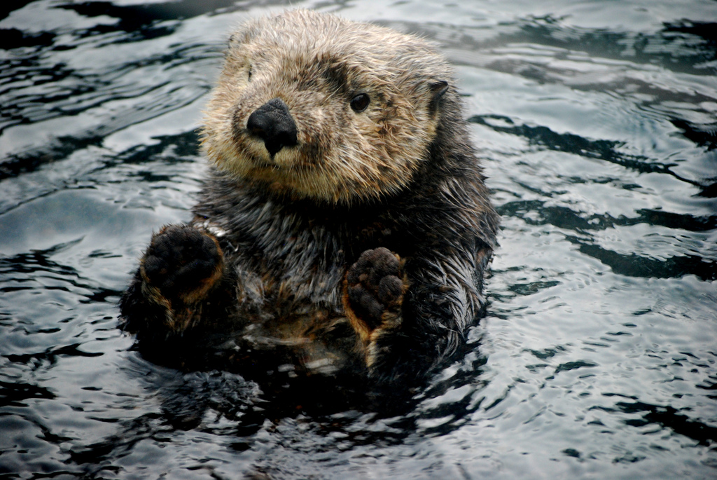 Sea Otter Offers a Game of Patty Cake