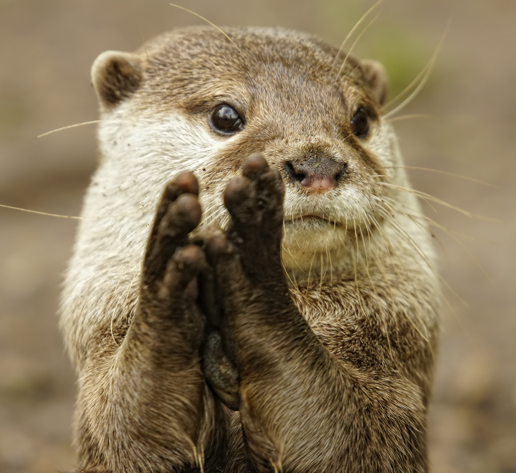 Otter Looks Like He's Giving a Round of Applause