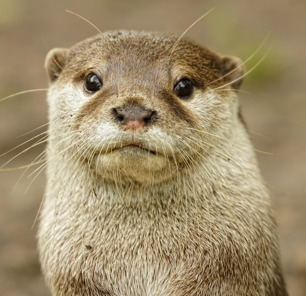 Otter Takes a Stoic Portrait