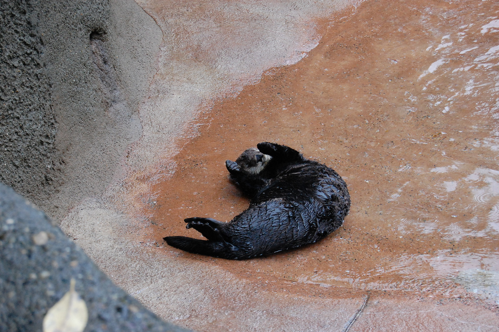 This Sea Otter Preferred to Nap on Land