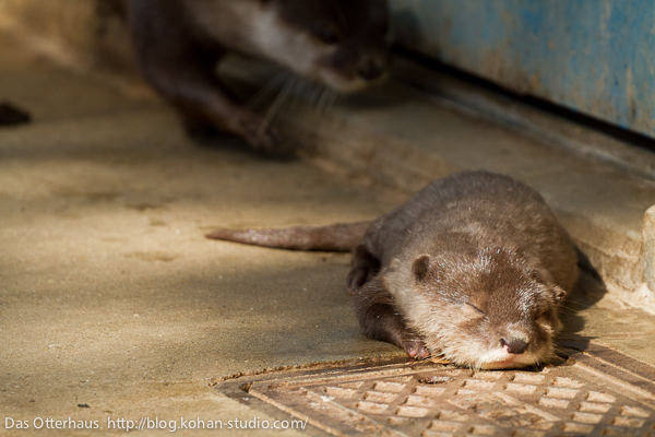 Otter Pup Takes a Nap in a Sunbeam