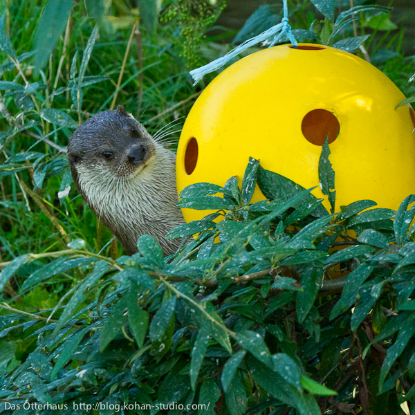 Otter Is Curious About the New Toy in the Habitat