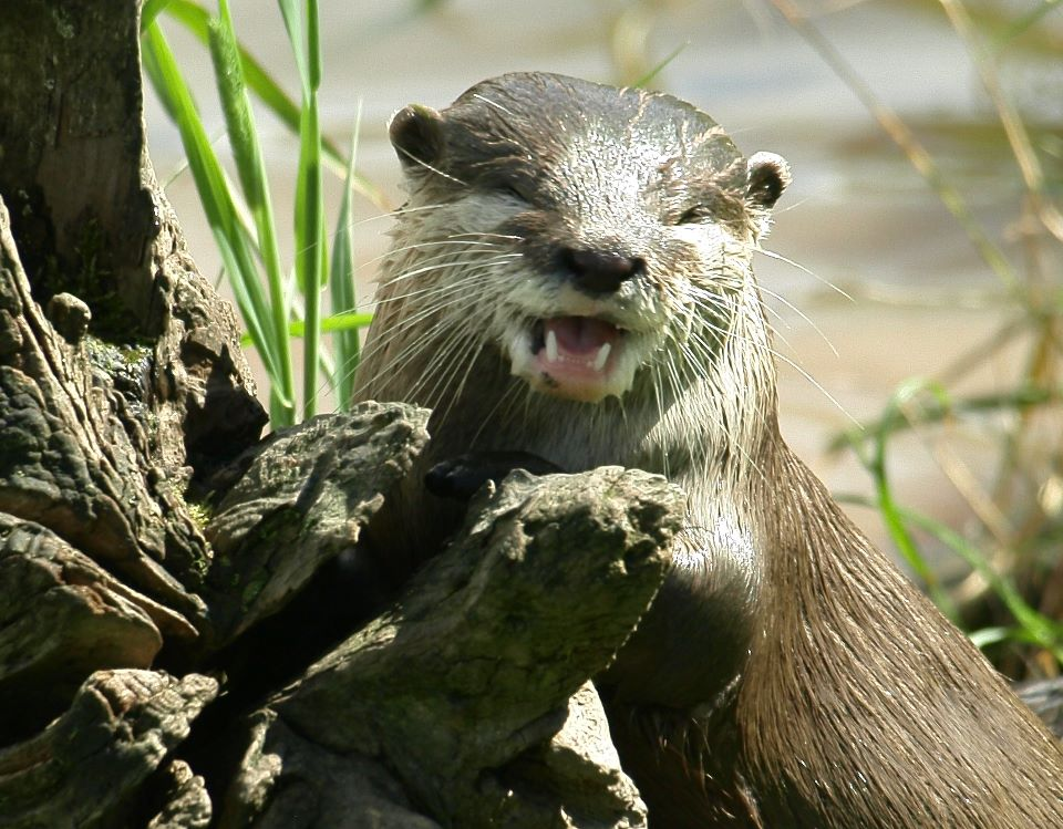 Otter Has a Chuckle