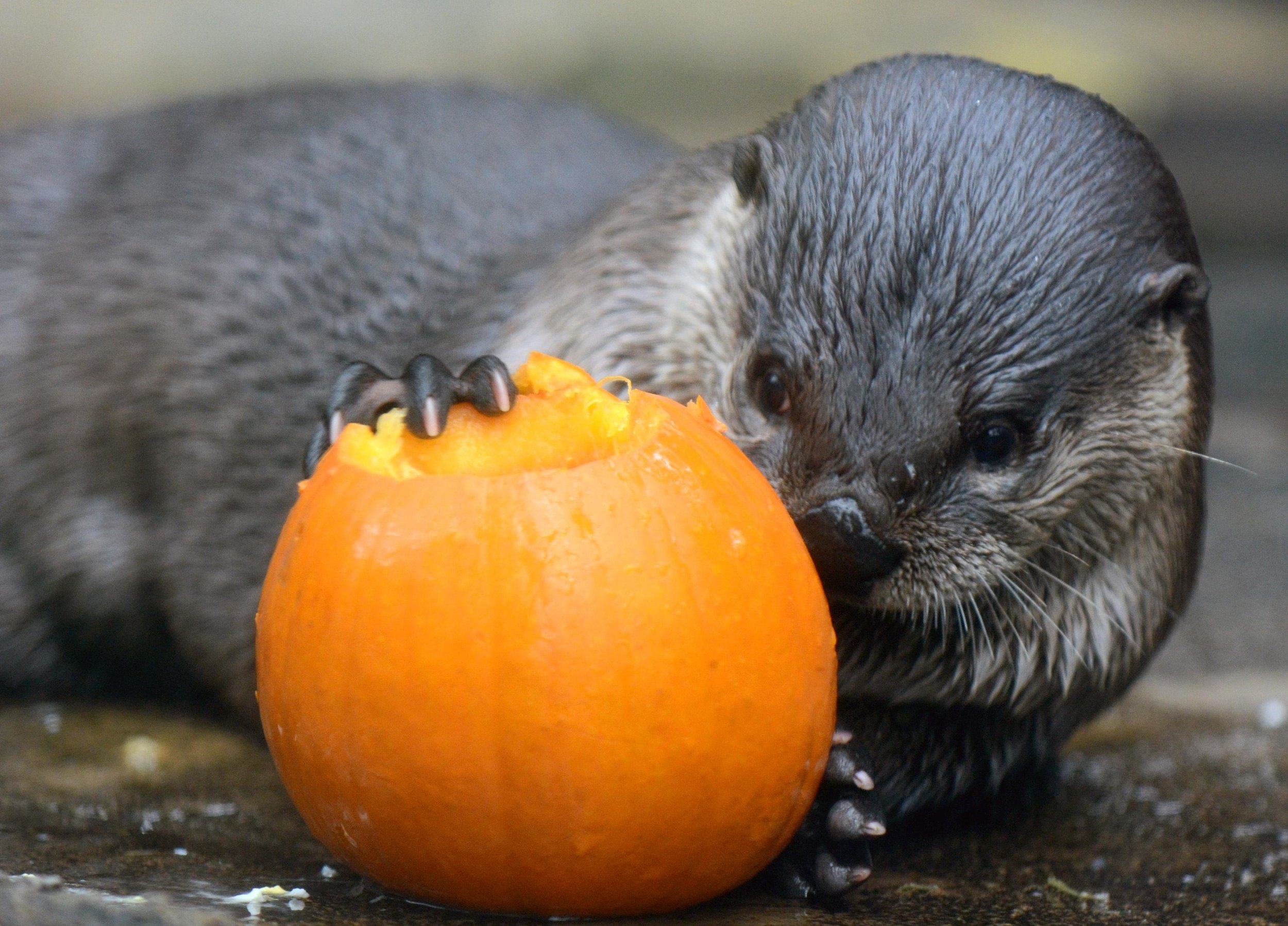 Otters at the Florida Aquarium Get Halloween Pumpkins to Play With 2