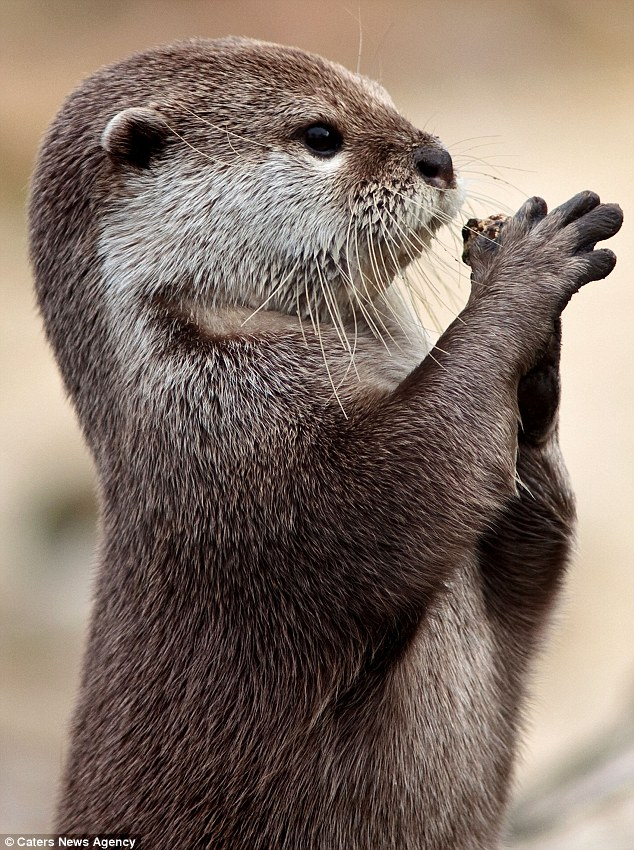 Otter Has a Stone