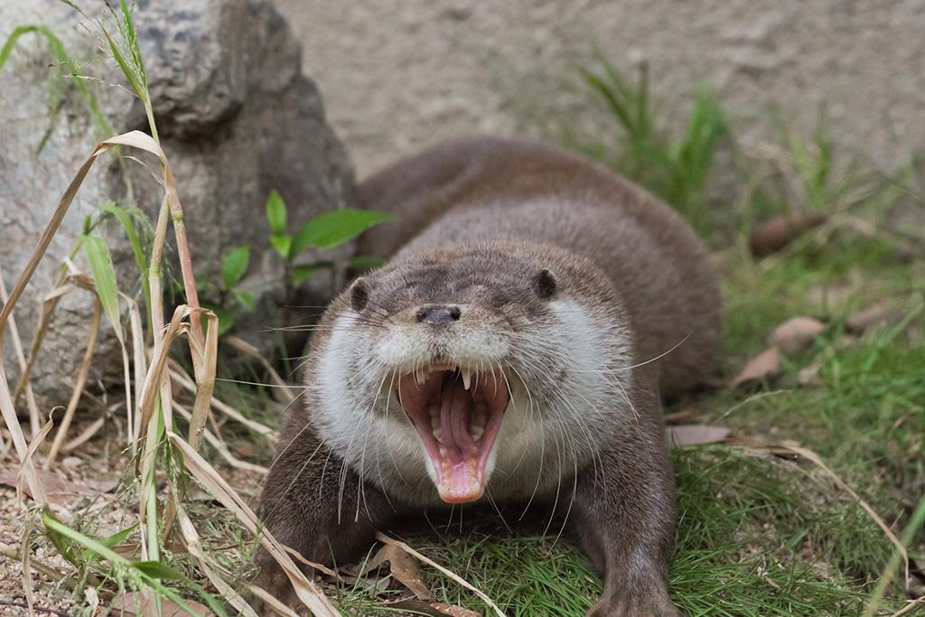 Is It a Yawn or a Crocodile Impression?