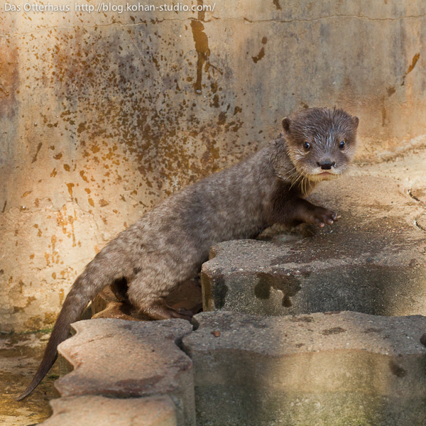 Otter Pup Climbs the Stairs