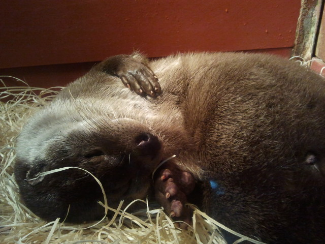 Otter Is Too Sleepy for Visitors
