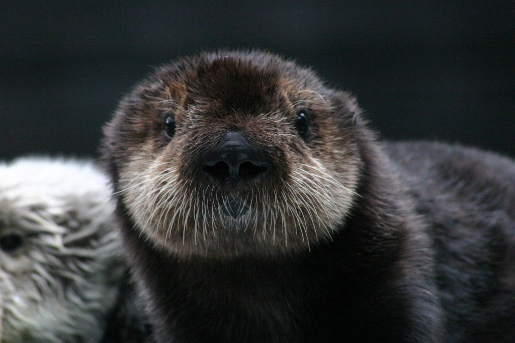 Sea Otter Pup Looks Right at the Camera