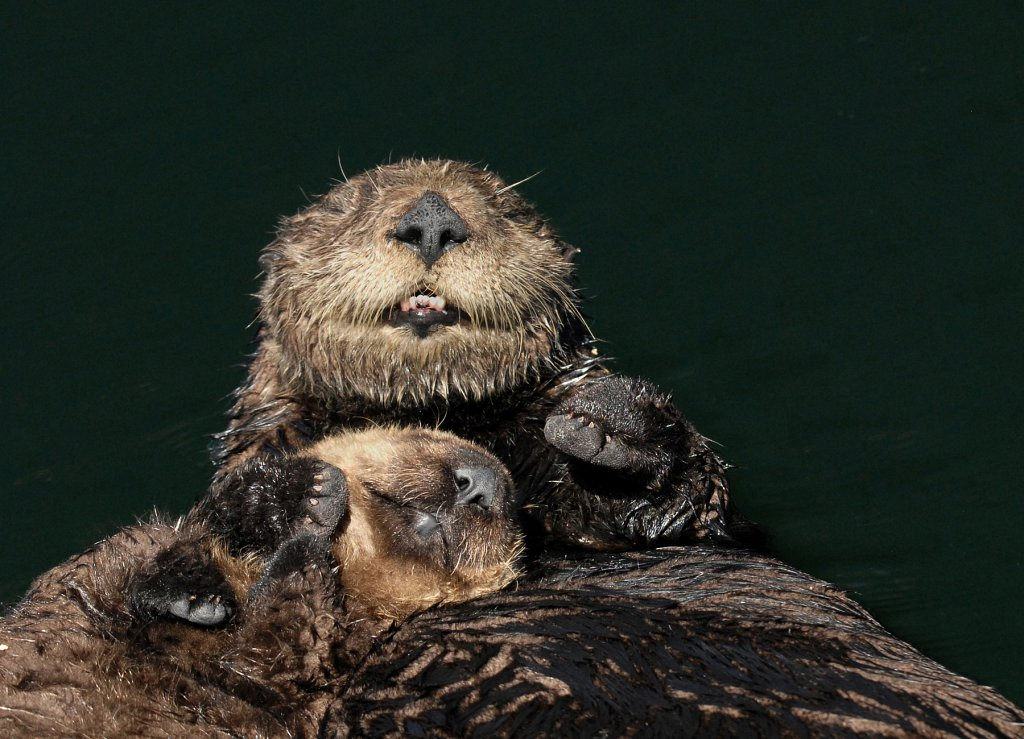 Sea Otters Are Happy in Their Cuddles