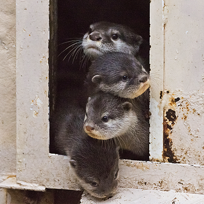 Curious Otter Pile-Up