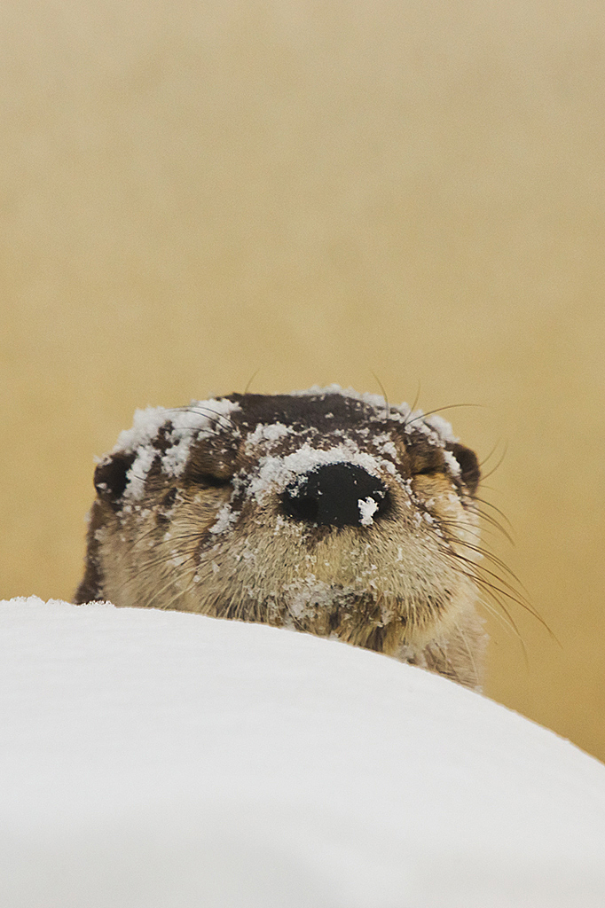 Otter's Been Having a Good Time in the Snow