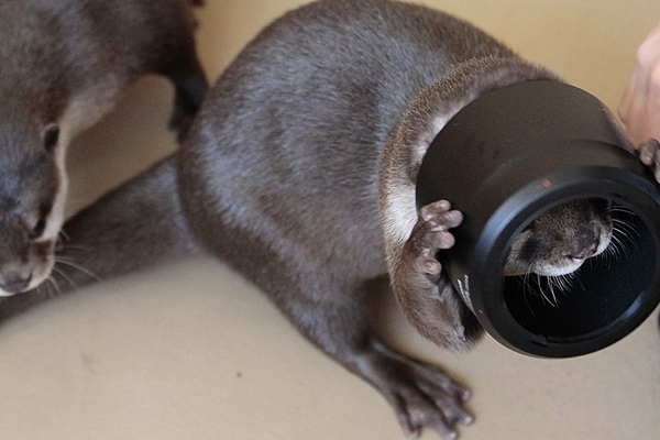 Otter Tries to Figure Out Human's Camera Equipment 3