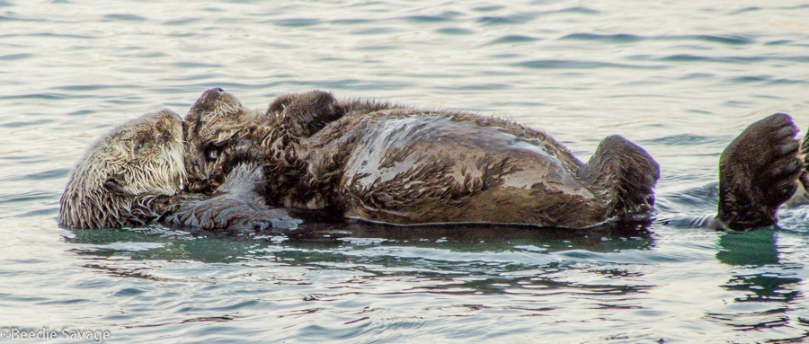 Sea Otter Pup Has a Nap on Mum's Belly